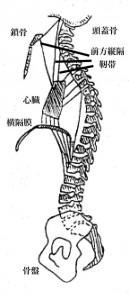 横隔膜と心臓